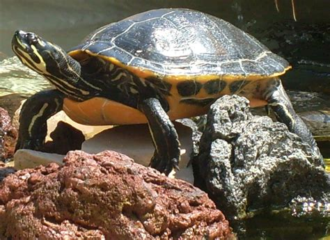 water turtle aquatic turtle free stock photo public domain pictures