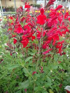 Photo of the entire plant of Autumn Sage (Salvia greggii ...