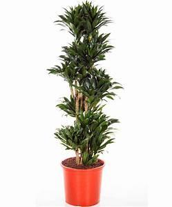 Plante D Intérieur Haute : achetez maintenant une plante d int rieur dracaena 5 ~ Premium-room.com Idées de Décoration