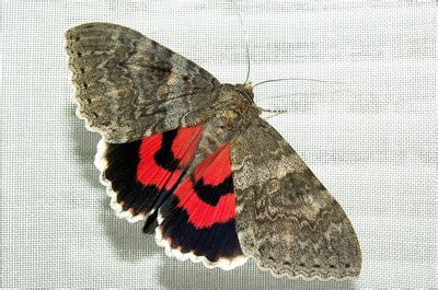 grundge  glam red underwing moth featured creature