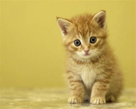 image chat mignon fond d ecran petit chaton mignon chats chat mignon chaton mignon et chat roux