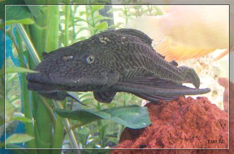 bottom feeder aquarium deviantart 2009 favourites