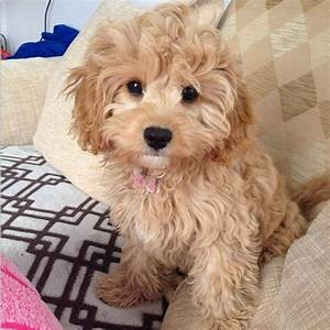 Best 25+ Cavapoo dogs ideas on Pinterest