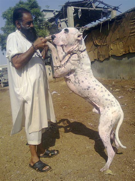 Pin Pictures-bully-kutta-vicious-dog-attack-videos on ...