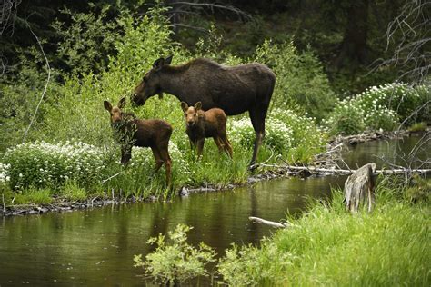 moose fawns  coyotes