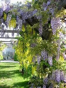 Kletterpflanzen Für Balkon : kletterpflanzen rankpflanzen schlinger als sichtschutz ~ Lizthompson.info Haus und Dekorationen