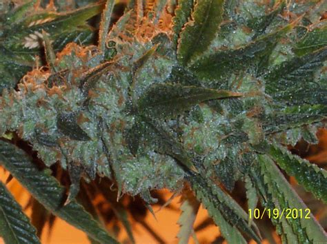 indoor tree info about the unknown or legendary cannabis strain quot hells