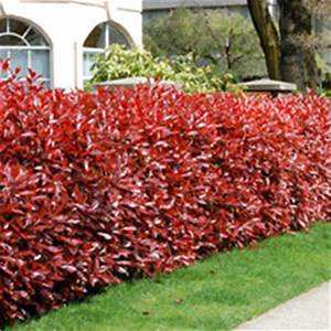 Photinia Red Robin : photinia red robin grower direct ~ Michelbontemps.com Haus und Dekorationen