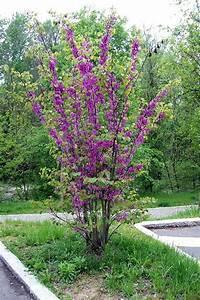 cercis siliquastrum plants tree garden