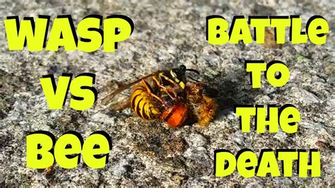 wasp  bee wasp bee fight wasp bee battle wasp