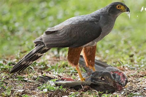 Different Types Of Raptors Or Birds Of Prey