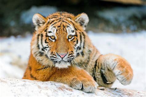 große bilder kaufen die 66 besten tiger hintergrundbilder