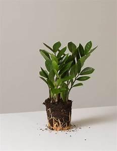 4 U0026quot  Zz Plant