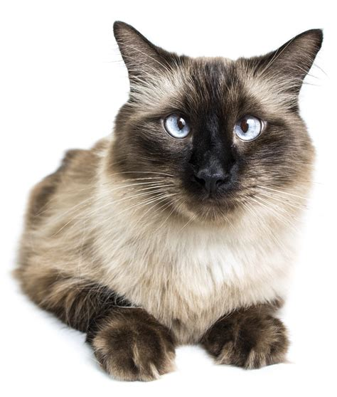 The Felines From Thailand Siamese Cat Types And Related Facts