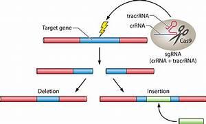 Genome Editing By Crispr