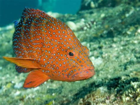grouper fish spotted coral tropical hind indonesia catfish bali known