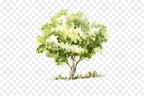 color tree drawing watercolor painting tree pencil sketch trees png