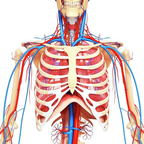 The muscular system consists of the skeletal muscles and their associated structures. Chest Anatomy Diagram - Cheat Dumper