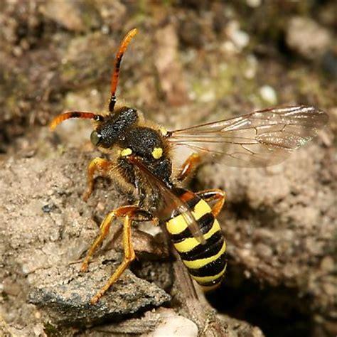 bienen niedrigere klassifizierungen wildbienen was ist eine biene