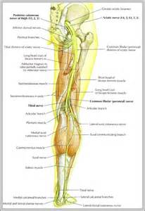 Human Anatomy Leg Nerves Diagram