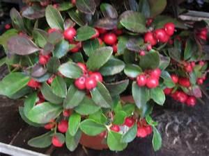 Pflanze Mit Z : gaultheria mit vielen beeren kleinere pflanze versand ~ Lizthompson.info Haus und Dekorationen