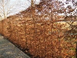 Bambus Im Winter : 130 m immergr ne blickdichte hecke aus bambus liguster oder thuja page 3 mein sch ner ~ Frokenaadalensverden.com Haus und Dekorationen