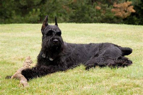 Large Dogs That Dont Shed Much by Large Lazy Non Shedding Dogs Breeds Picture