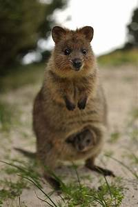 My favourite animal of the day - so cute! A Quokka from ...