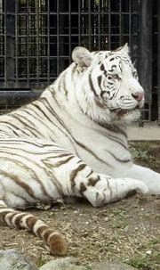 Rare White Tiger Mauls Zookeeper To Death In Enclosure In ...