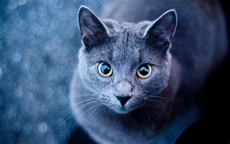 Warrior Cat Desktop Wallpaper Blue Cat 3 Photo Funny Cat Dompict Com