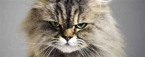 Cat Health Fact Sheet The Signs Your Cat Is In Pain