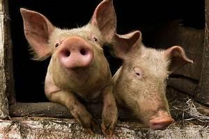 Pork Chops  Pig Smarts  U0026 Muckraking  An Interview With
