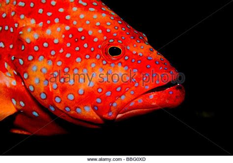 grouper mouth close coral alamy
