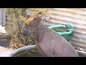 Pics For > Mexican Hairless Dog Chupacabra