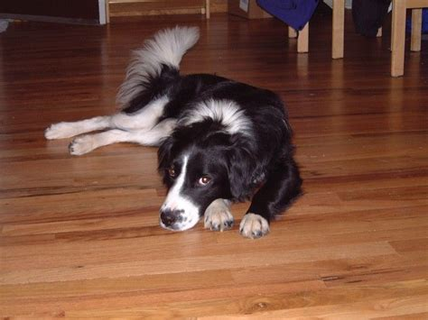 border collie bernese mountain dog mix  fav dogs