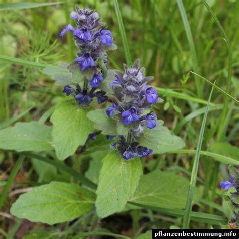 blau bluehende pflanzen und blumen bestimmen