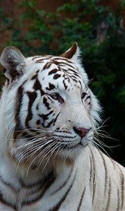 White Bengal Tiger Big Cat - Free photo on Pixabay