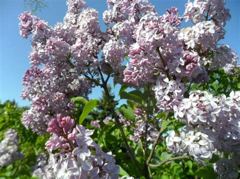 fashioned flowering shrubs 36 best images about perennial flowers on pinterest