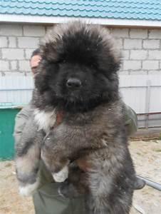 28 best caucasian shepherd dogs images on Pinterest ...