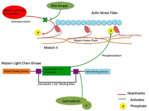 Myosin Light Chain Kinase myosin light chain kinase