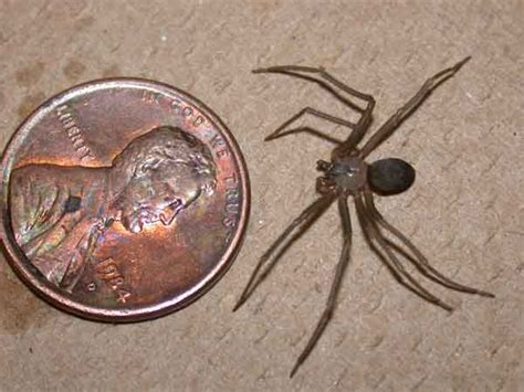 brown recluse insect id
