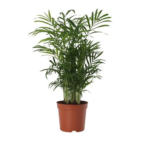 Small Kitchen And Dining Room Ideas - chamaedorea elegans potted plant parlour palm 9 cm ikea