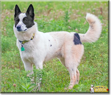 border collie blue heeler kelpie mix dog breeds picture