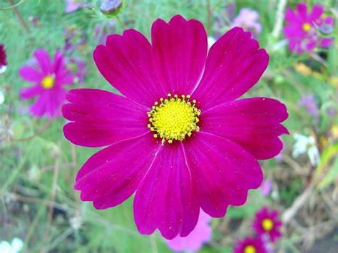 cosmos flower growing cosmos plant is too easy new flowers collection wallpapers of various flowers nice