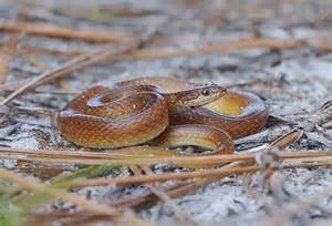 Florida Brown Snakes with Orange Belly