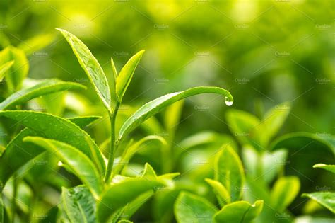 Green Tea Leaves With Water Drops
