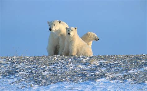 Polar Bear Wallpaper For Desktop
