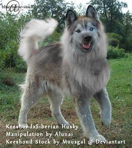 Keeshond x Siberian Husky by Stelly-Alunai on DeviantArt