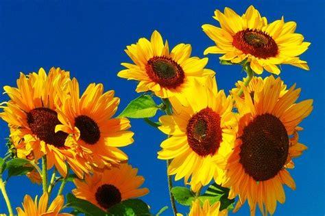 sunflower flower meadow bee golden  photo  pixabay