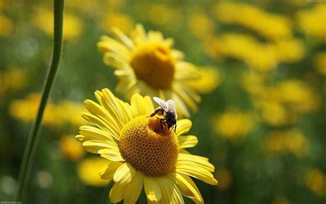 Schaue dir den Hintergrundbild Bienen in der Größe von